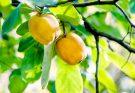Айва: полезные свойства и противопоказания