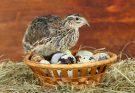 Вредны ли перепелиные яйца