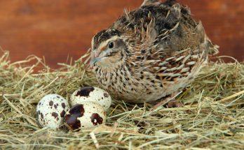 Тайны скорлупы перепелиных яиц