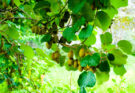 Киви: польза и вред для здоровья